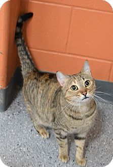 Domestic Shorthair Cat for adoption in Michigan City, Indiana - Daphne