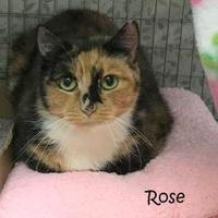 Domestic Shorthair/Domestic Shorthair Mix Cat for adoption in Kansas City, Missouri - Rose