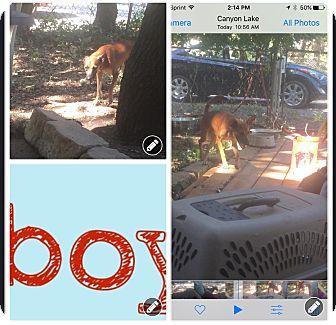 Cattle Dog/Dachshund Mix Dog for adoption in canyon lake, Texas - Dingo