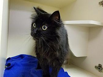 Domestic Longhair Cat for adoption in Elyria, Ohio - Midnight