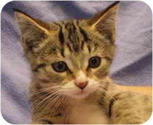 Domestic Shorthair Kitten for adoption in Walker, Michigan - princess dounut