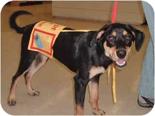 Hound (Unknown Type)/Rottweiler Mix Dog for adoption in Scottsdale, Arizona - Sara in Flagstaff