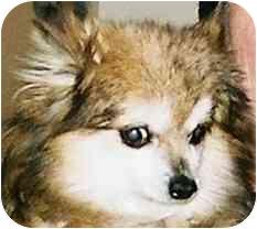 Pomeranian Dog for adoption in Lexington, Missouri - Penny