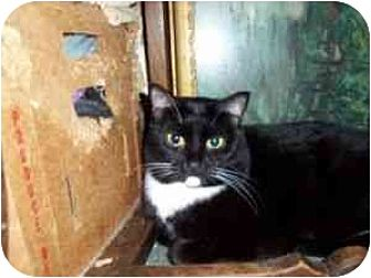Domestic Shorthair Cat for adoption in North Plainfield, New Jersey - Lucky
