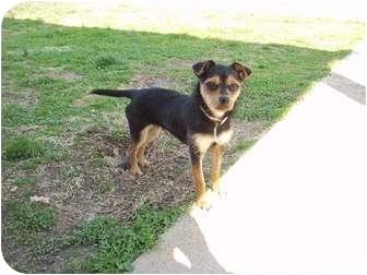 Chihuahua/Schnauzer (Miniature) Mix Dog for adoption in Adamsville, Tennessee - Prissy
