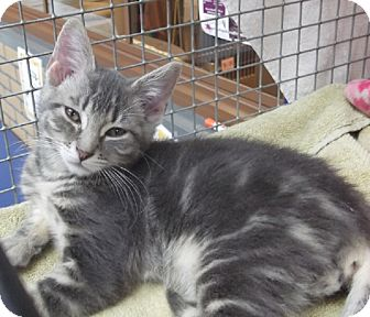 Domestic Shorthair Kitten for adoption in Wheaton, Illinois - Stormy