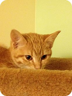 Domestic Shorthair Kitten for adoption in Richfield, Ohio - Lizzy and Mary