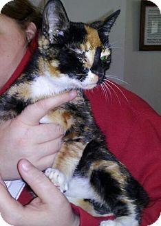 Manx Kitten for adoption in Daleville, Alabama - Nubbins