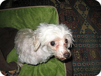 Maltese Dog for adoption in Mt Gretna, Pennsylvania - Brittany