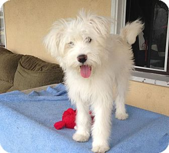 West Highland Terrier Mix Puppies Nala | Adopted Puppy |...