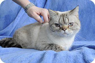 Exotic Cat for adoption in Columbus, Ohio - Giovanni