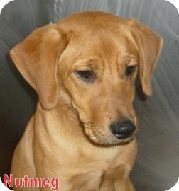 Labrador Retriever Mix Puppy for adoption in Georgetown, South Carolina - Nutmeg