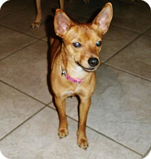Basenji/Chihuahua Mix Dog for adoption in Silsbee, Texas - Jewel
