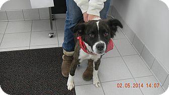 Border Collie Mix Puppy for adoption in Sandusky, Ohio - MAZIE