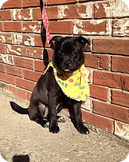 Pug Mix Puppy for adoption in Nelsonville, Ohio - Brody