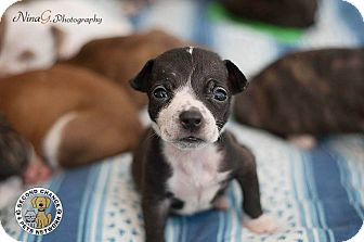 Border Collie/Boston Terrier Mix Puppy for adoption in Whiting, Indiana - Sweetie