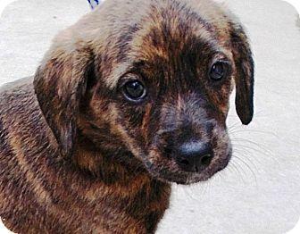 Boxer/Labrador Retriever Mix Puppy for adoption in Allentown, New Jersey - Valerie