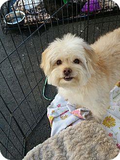 Poodle (Miniature)/Maltese Mix Dog for adoption in Winnetka, California - SNUGGLES
