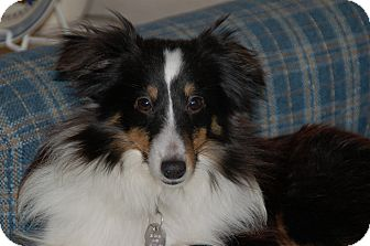 Sheltie, Shetland Sheepdog Dog for adoption in Circle Pines, Minnesota - Kira