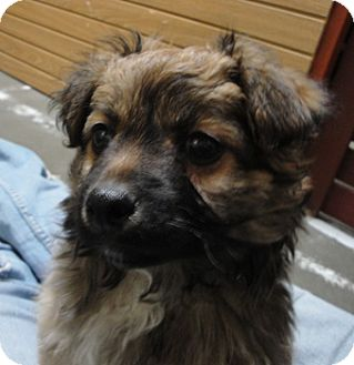 Border Collie Mix Puppy for adoption in Meridian, Idaho - Curly