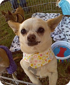 Terrier (Unknown Type, Small)/Chihuahua Mix Dog for adoption in Creston, California - Harper