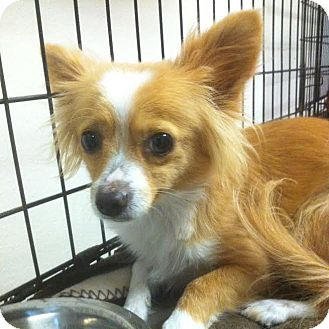 Chihuahua/Pomeranian Mix Dog for adoption in Westminster, California - Lucky