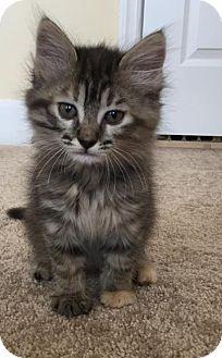 Domestic Mediumhair Kitten for adoption in Gainesville, Florida - Otter