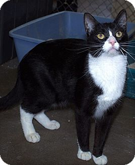American Shorthair Cat for adoption in Fallbrook, California - Smitty