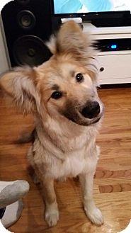 Sheltie, Shetland Sheepdog Mix Dog for adoption in Peterborough, Ontario - STITCH