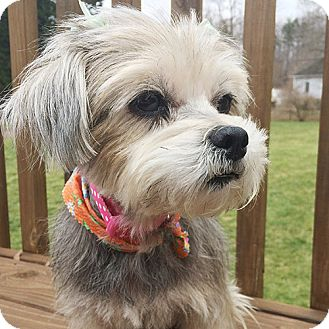 Shih Tzu/Yorkie, Yorkshire Terrier Mix Dog for adoption in Durham, North Carolina - Sadie