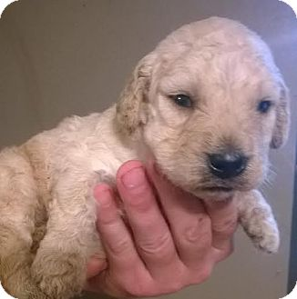 Goldendoodle Mix Puppy for adoption in SOUTHINGTON, Connecticut - Henry