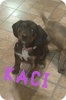 Hound (Unknown Type)/Pit Bull Terrier Mix Puppy for adoption in Laingsburg, Michigan - Kaci