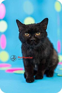 Domestic Mediumhair Cat for adoption in Columbus, Ohio - Maude