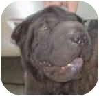Shar Pei Dog for adoption in Houston, Texas - Huggie