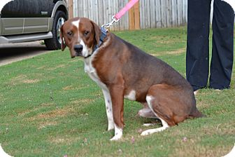 Basset Hound/Pointer Mix Dog for adoption in Acworth, Georgia - Mr. Lucy - Lucy Litter