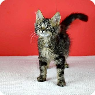 Domestic Longhair Kitten for adoption in Columbia, Illinois - Mikey