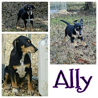 Feist Mix Puppy for adoption in Brunswick, Maine - Ally