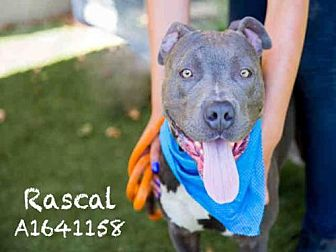 Pit Bull Terrier Dog for adoption in Los Angeles, California - RASCAL