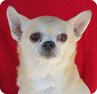 Chihuahua Mix Dog for adoption in Las Vegas, Nevada - Beethoven