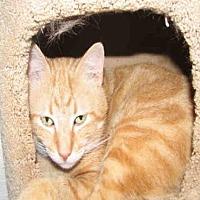 Domestic Mediumhair Cat for adoption in Fort Walton Beach, Florida - APACHE