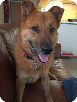 Chow Chow/Shepherd (Unknown Type) Mix Dog for adoption in Columbus, Ohio - Riggs