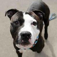 Pit Bull Terrier Dog for adoption in Aurora, Illinois - WILSON