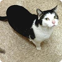 Adopt A Pet :: Ringy-Adoption Pending! - Colmar, PA