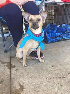 Chihuahua/Fox Terrier (Smooth) Mix Dog for adoption in Dallas, Texas - Igor