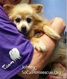 Pomeranian Dog for adoption in Studio City, California - Johnny