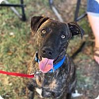 Adopt A Pet :: Clover - Wichita Falls, TX