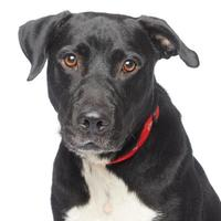 Adopt A Pet :: Boo Radley - Los Angeles, CA
