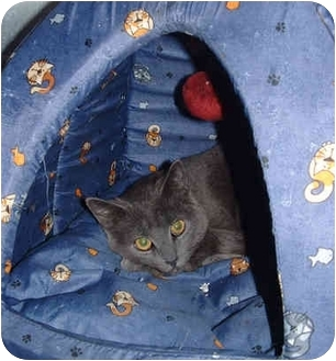 Domestic Shorthair Cat for adoption in Honesdale, Pennsylvania - Stumpy