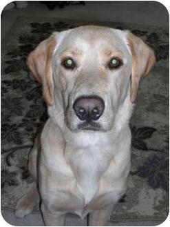 Golden Retriever/Labrador Retriever Mix Dog for adoption in Northville, Michigan - Sam