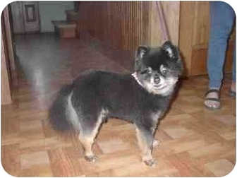 Pomeranian Dog for adoption in Ortonville, Michigan - Mr.Boots